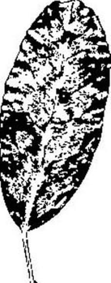 树叶的黑白画图片