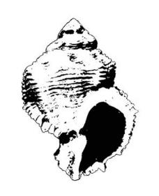 海螺黑白图图片