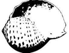 黑白的海螺图片