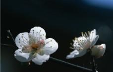 梅花的图片