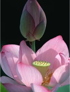 花蕾与花朵图片