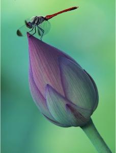 荷花花蕾 蜻蜓图片
