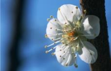 白色的梅花图片