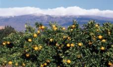 桔子树图片