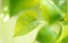 植物嫩叶图片